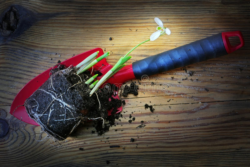 Snowdrop、根和土壤在红色铁锹,早期的春天,背景 库存图片