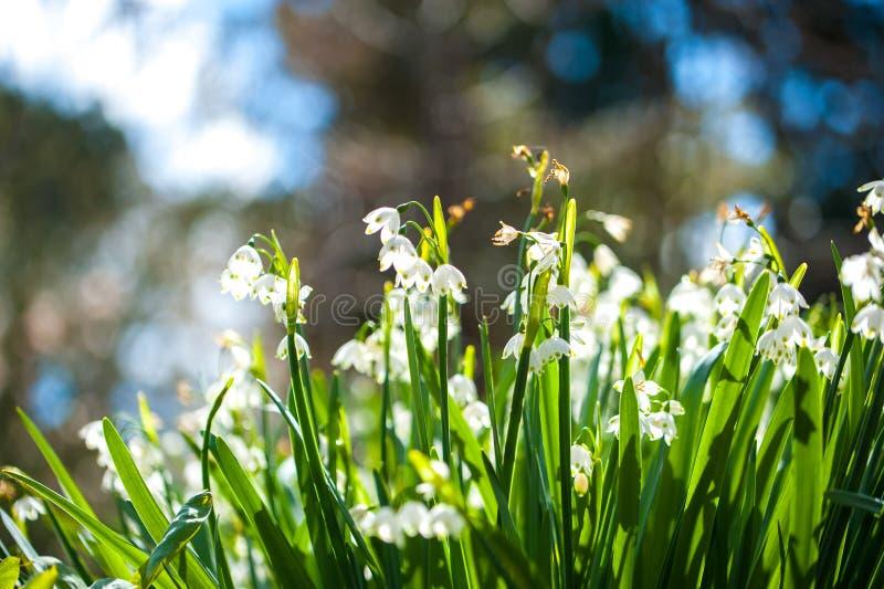 Snowdrop由阳光开花由后面照在一个srping的森林里 免版税库存图片