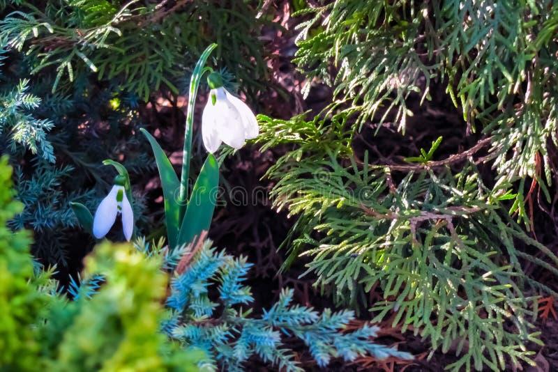 Snowdrop зацвело в лесе стоковые изображения rf