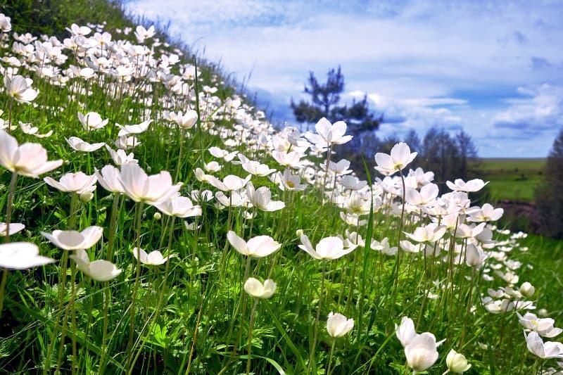 Snowdrop -银莲花属银莲花属sylvestris -在春季 库存图片