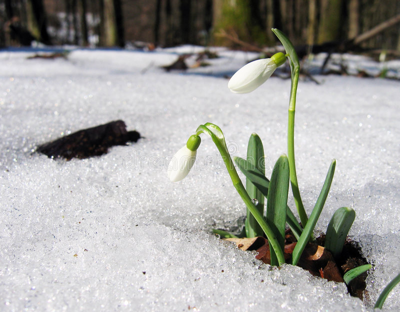 Download Snowdrop stock photo. Image of flower, bloom, snowdrop - 302298