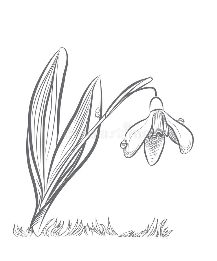 snowdrop stock vector illustration of drawn drawing