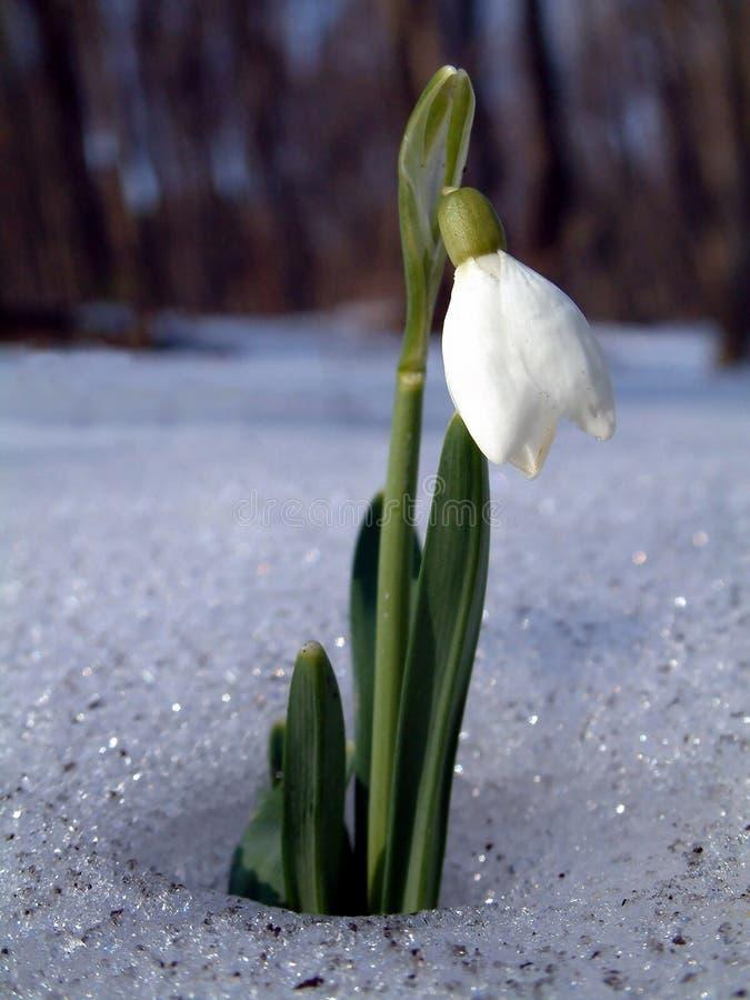 snowdrop στοκ φωτογραφίες