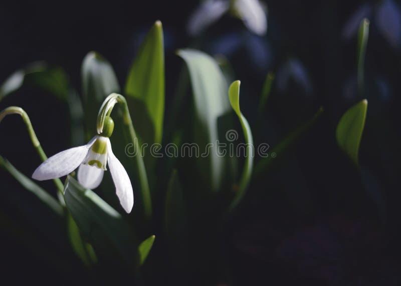 Snowdrop fotos de stock