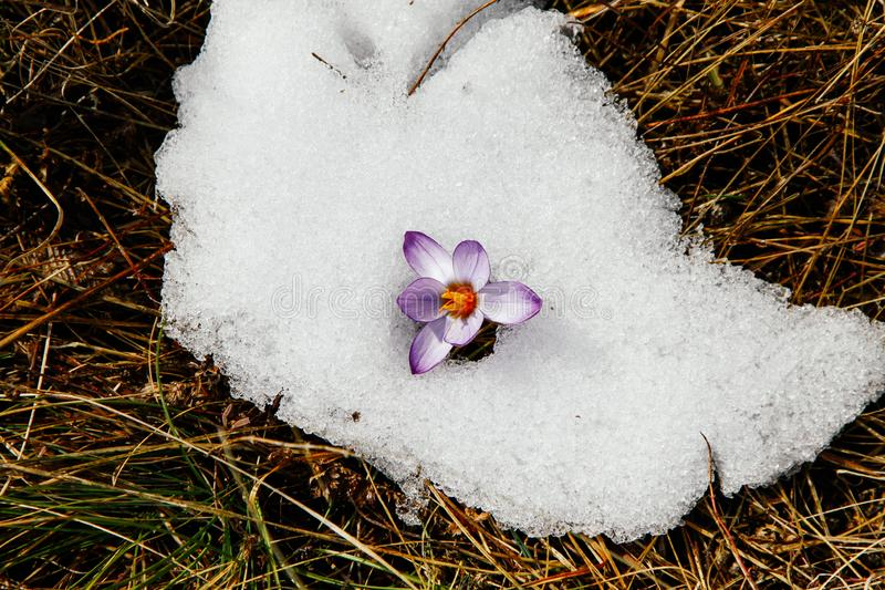 Snowdrop agradable en valle de la alta monta?a con nieve fotografía de archivo libre de regalías