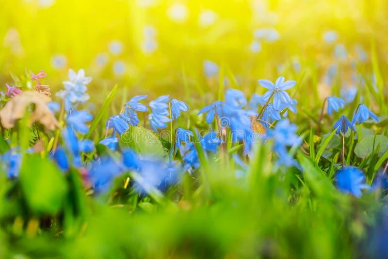 Snowdrop azul bonito da mola imagens de stock royalty free