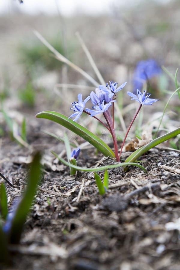 Snowdrop azul crescente selvagem, bifolia de Scilla, flor adiantada da mola do azul imagem de stock