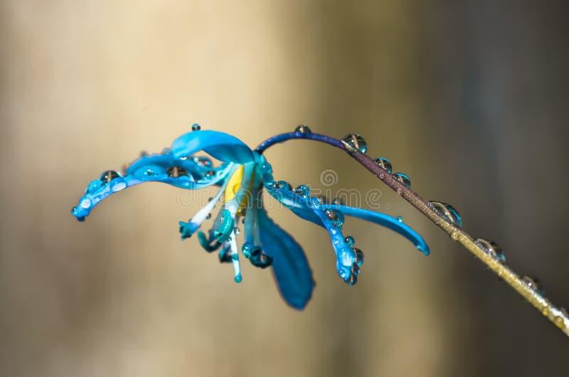 Snowdrop azul Scilla Squill da mola da flor da flor fotografia de stock royalty free