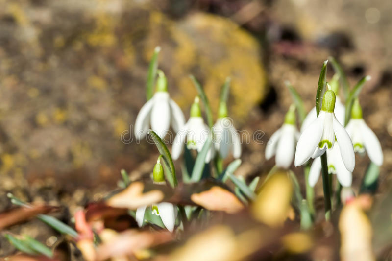Download Snowdrop Bloom In Springtime Stock Photo - Image: 38457524