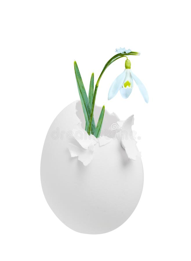 Snowdrop blossoming out of egg isolated on white, as concept of spring. stock photos
