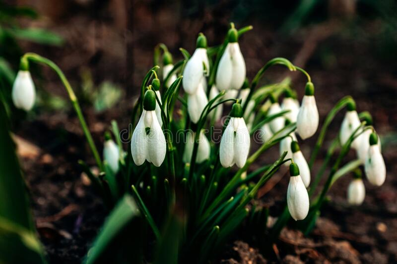 Snowdrop bush on damp ground in early spring.  royalty free stock photos
