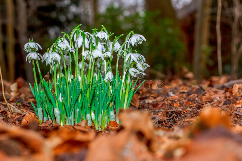 Snowdrop in the bushes. New growth of snowdrop flowers through the layer of autumn felt leafs of previous year stock image