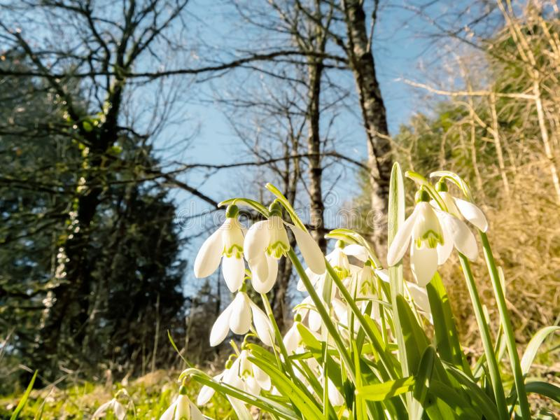 Snowdrop or common snowdrop or Galanthus nivalis flowers stock photography