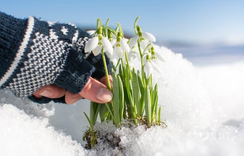 Snowdrop da colheita da mão que aumenta da neve imagens de stock royalty free