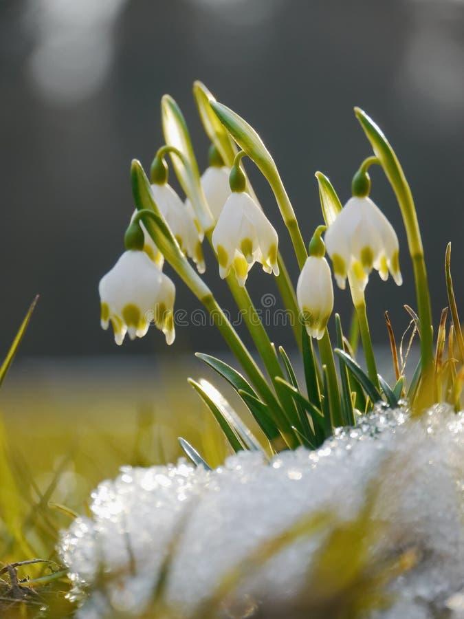 Snowdrop do floco de neve da mola imagens de stock royalty free