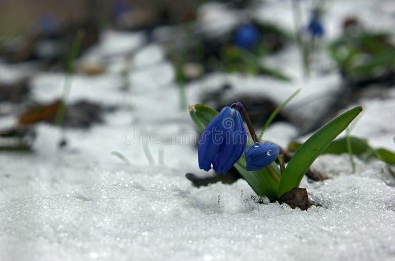 Snowdrop el pequeño en nieve imagenes de archivo