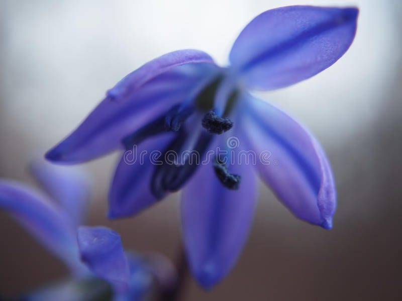 Snowdrop first spring bright flower at leaves macro royalty free stock photos