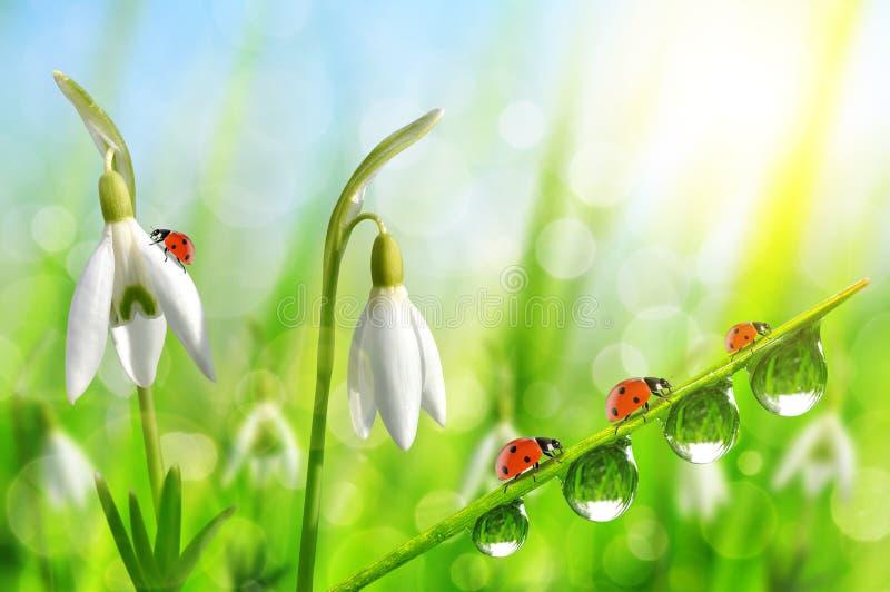 Snowdrop florece con la hierba y las mariquitas cubiertas de rocio en fondo natural del bokeh imagenes de archivo