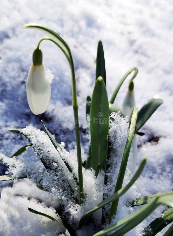 Snowdrop florece los nivalis de Galanthus imagenes de archivo