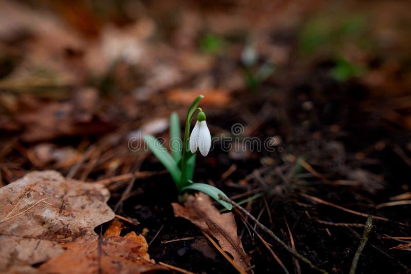 Snowdrop floresceu na floresta após o inverno imagens de stock