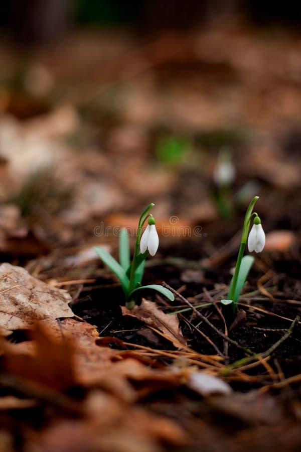 Snowdrop floresceu na floresta após o inverno fotos de stock