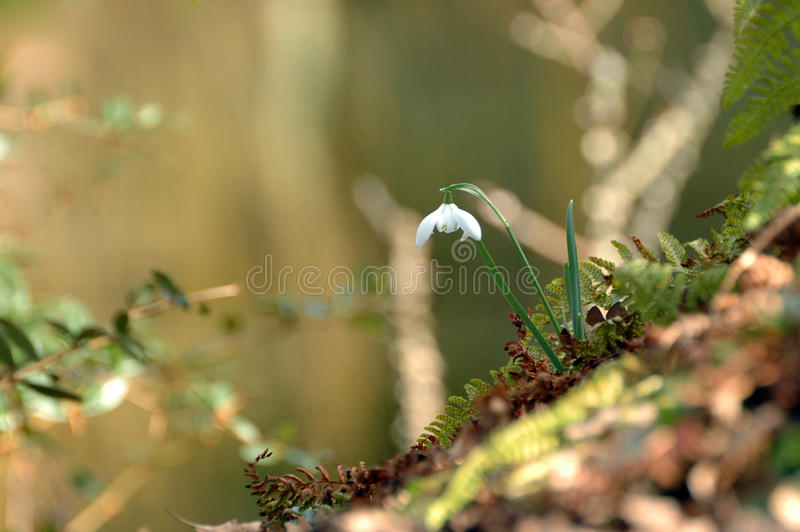 Snowdrop flower stock photos