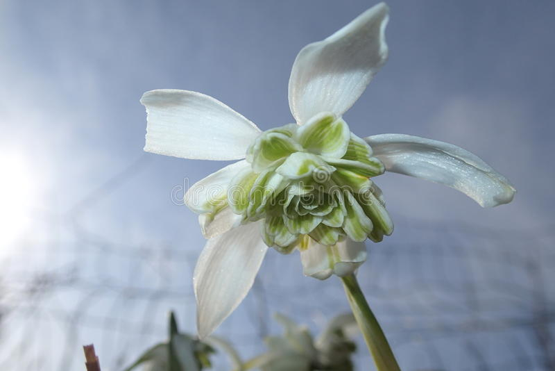 Snowdrop flower with many petals stock photography