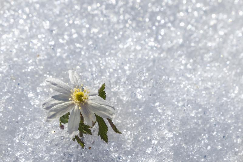 Snowdrop flower among the snow. Copy space stock image
