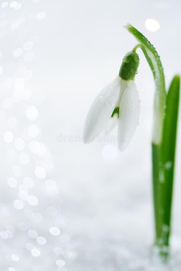 Download Snowdrop Flower On White Studio Snow Stock Image - Image: 29077269