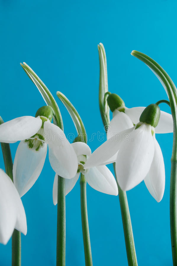 Snowdrop flowers royalty free stock photography