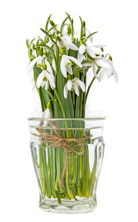 Snowdrop flowers. On a white background stock photos