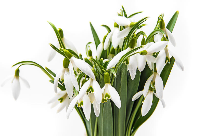 Snowdrop flowers. On a white background royalty free stock photography