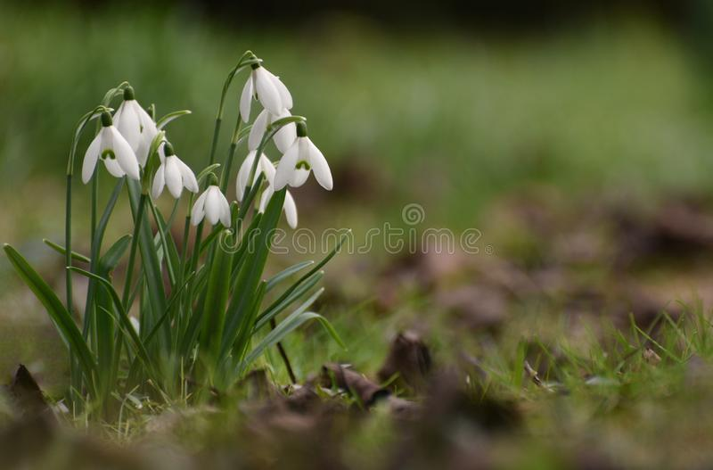 Snowdrop flowers. On the forest floor in February in the UK royalty free stock image