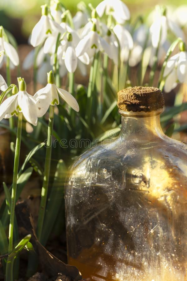 Snowdrop flowers and old glass jar with sunlight. Fresh snowdrops in the wild close up at eye level, with an old glass bottle catching early morning sunlight royalty free stock images