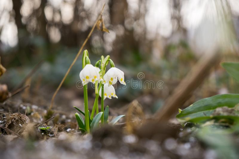 Snowdrop flowers and other spring flowers in grass in garden. Slovakia stock photo