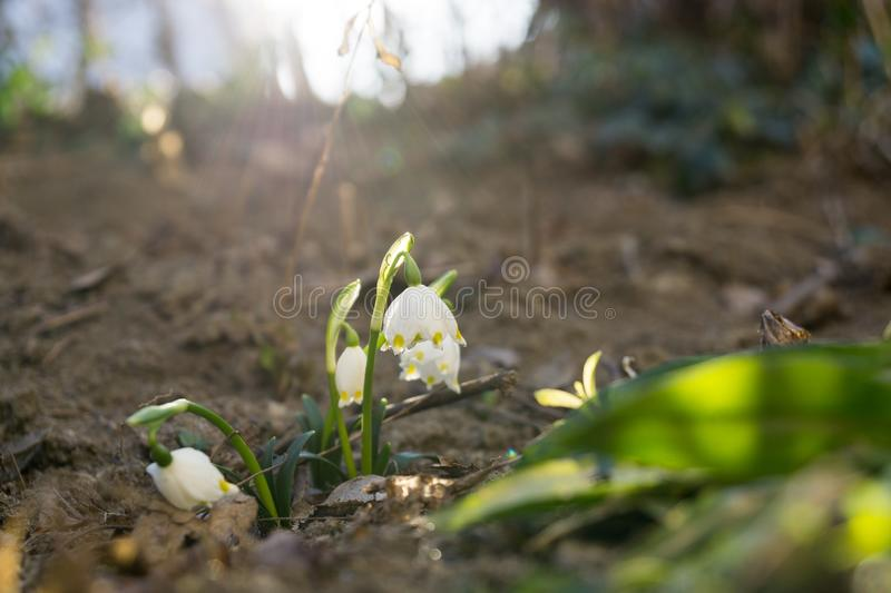 Snowdrop flowers and other spring flowers in grass in garden. Slovakia royalty free stock photography
