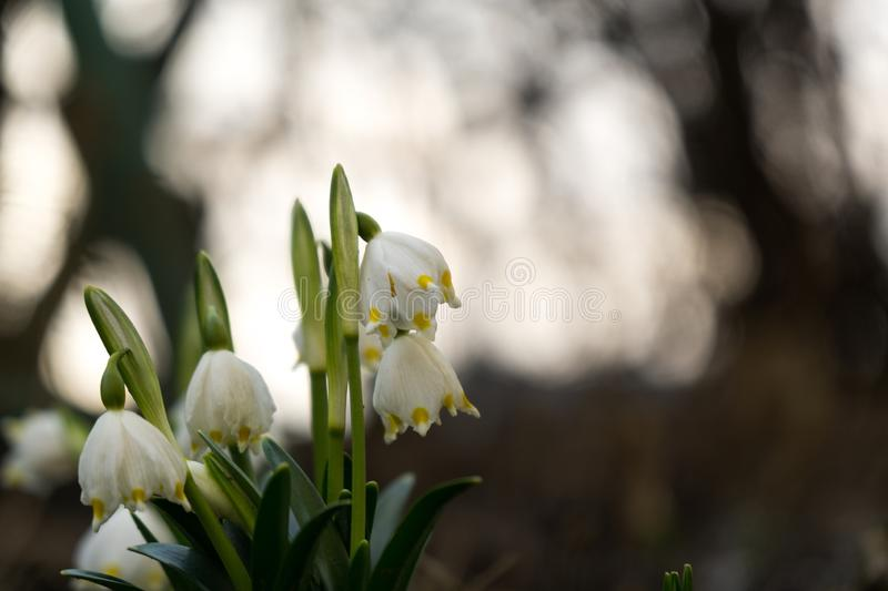 Snowdrop flowers and other spring flowers in grass in garden. Slovakia royalty free stock photos