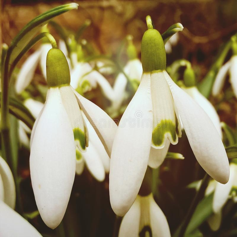 Snowdrop flowers and other spring flowers in grass in garden. Slovakia royalty free stock photo