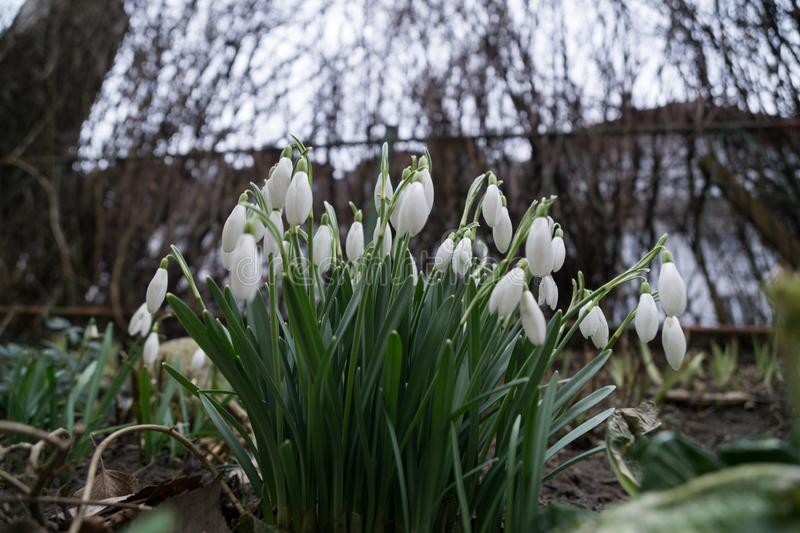 Snowdrop flowers and other spring flowers in grass in garden. Slovakia royalty free stock images