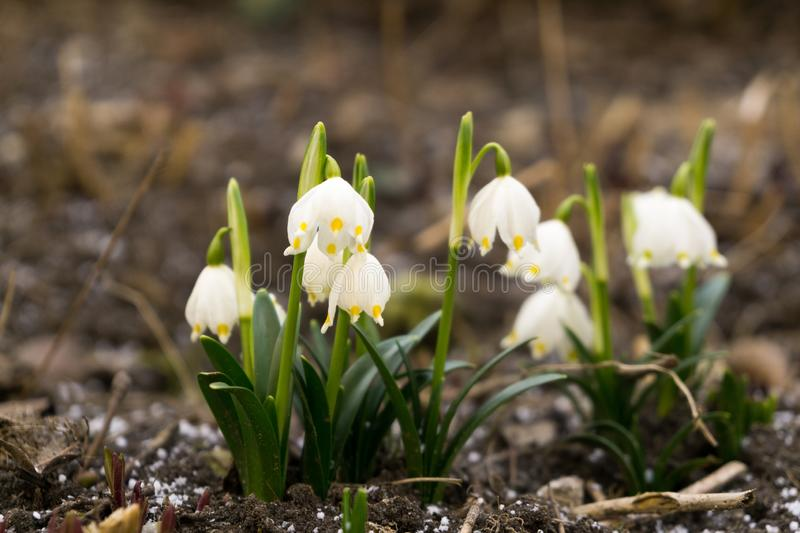 Snowdrop flowers and other spring flowers in grass in garden. Slovakia stock image