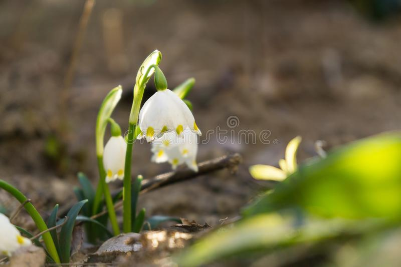Snowdrop flowers and other spring flowers in grass in garden. Slovakia stock photos