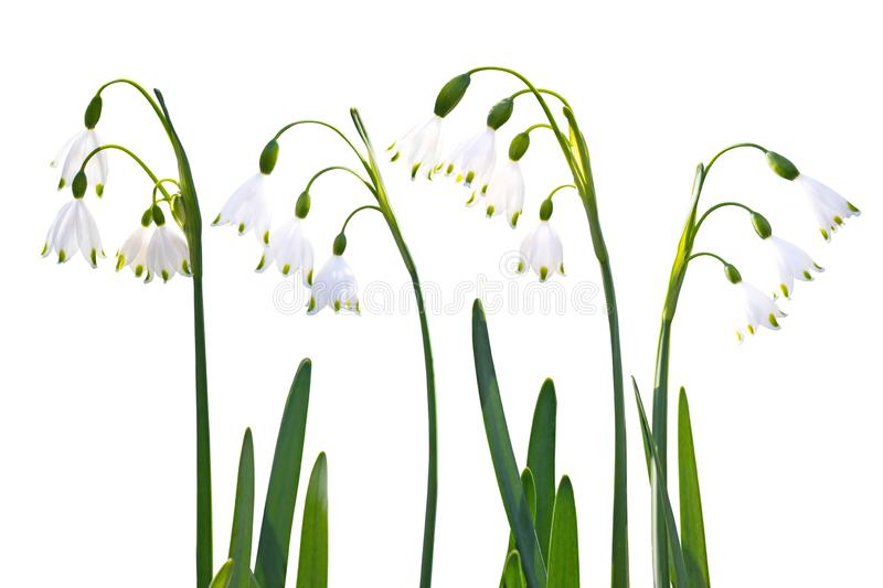Snowdrop flowers set isolated on white royalty free stock images