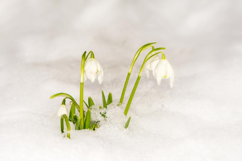 Snowdrop flowers in the snow stock images