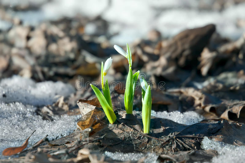 Snowdrop flowers in spring. Snowdrop flowers in early spring season royalty free stock photography