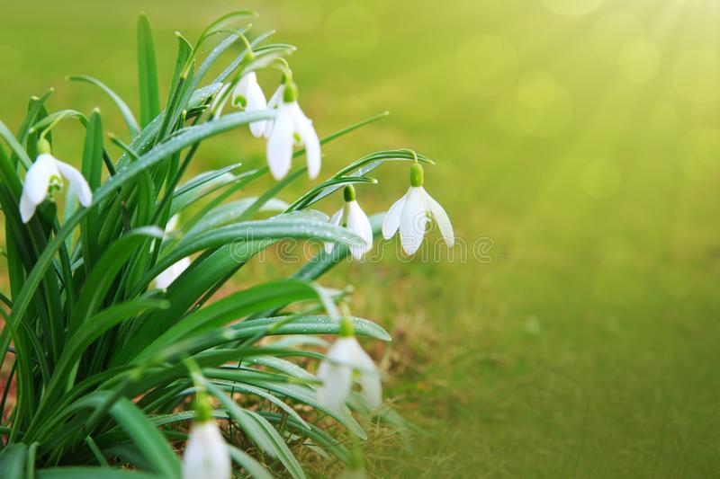 Snowdrop flowers in the spring garden. stock photography