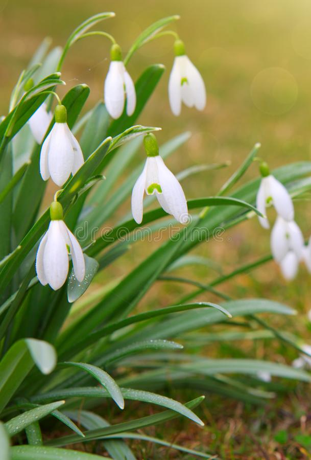 Snowdrop flowers in the spring garden. stock images