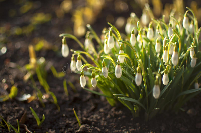 Snowdrop flowers in sunlight - bokeh background royalty free stock image