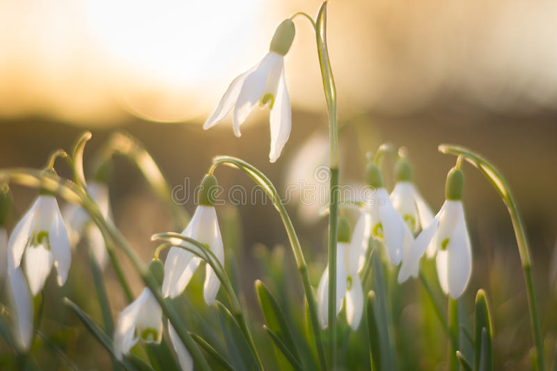 Snowdrop flowers on sunset in spring closeup. royalty free stock photography