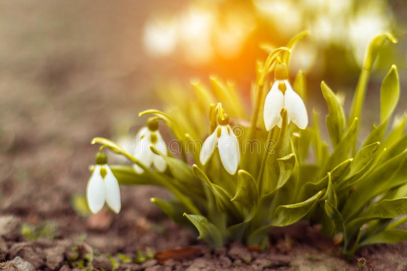 Snowdrop in a forest glade stock photo