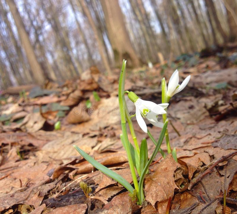 Snowdrop in the forest stock images